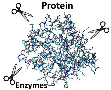 stomach acid enzymes protein